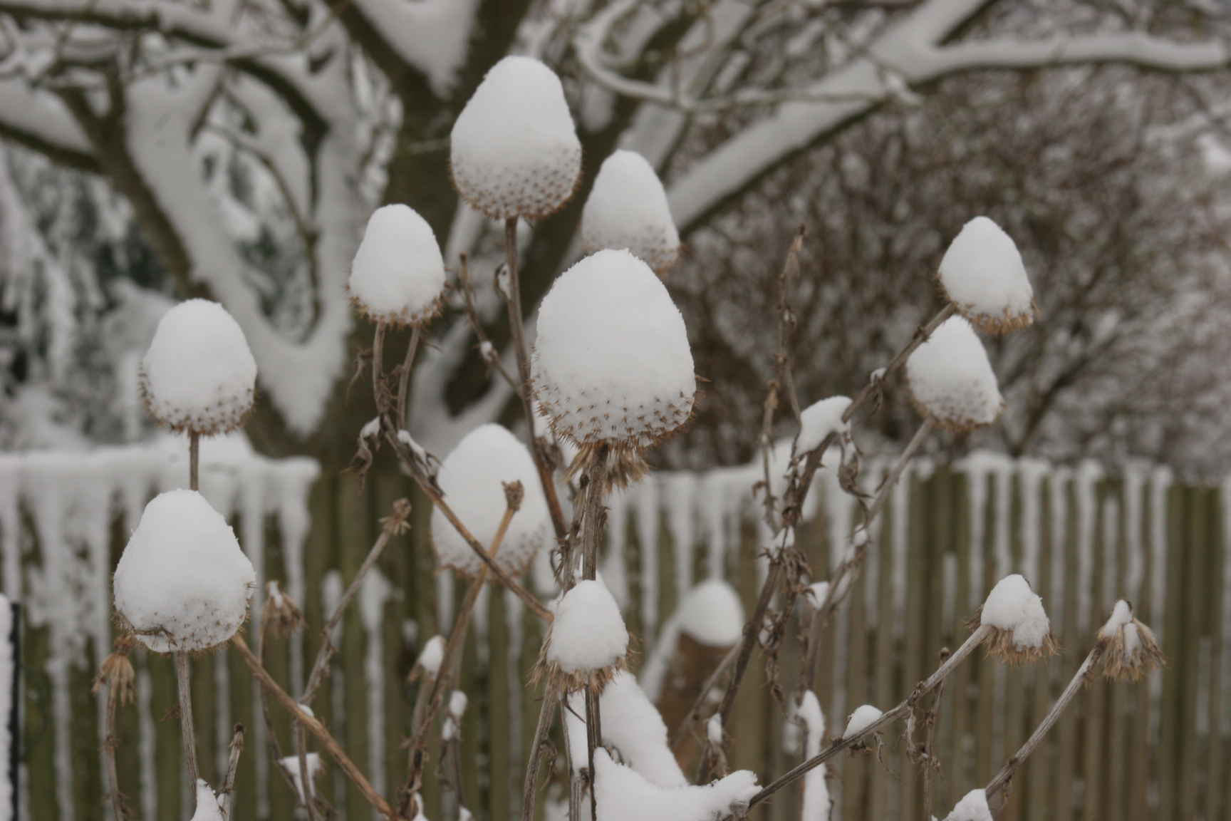 echinops-covered-in-snow.jpg