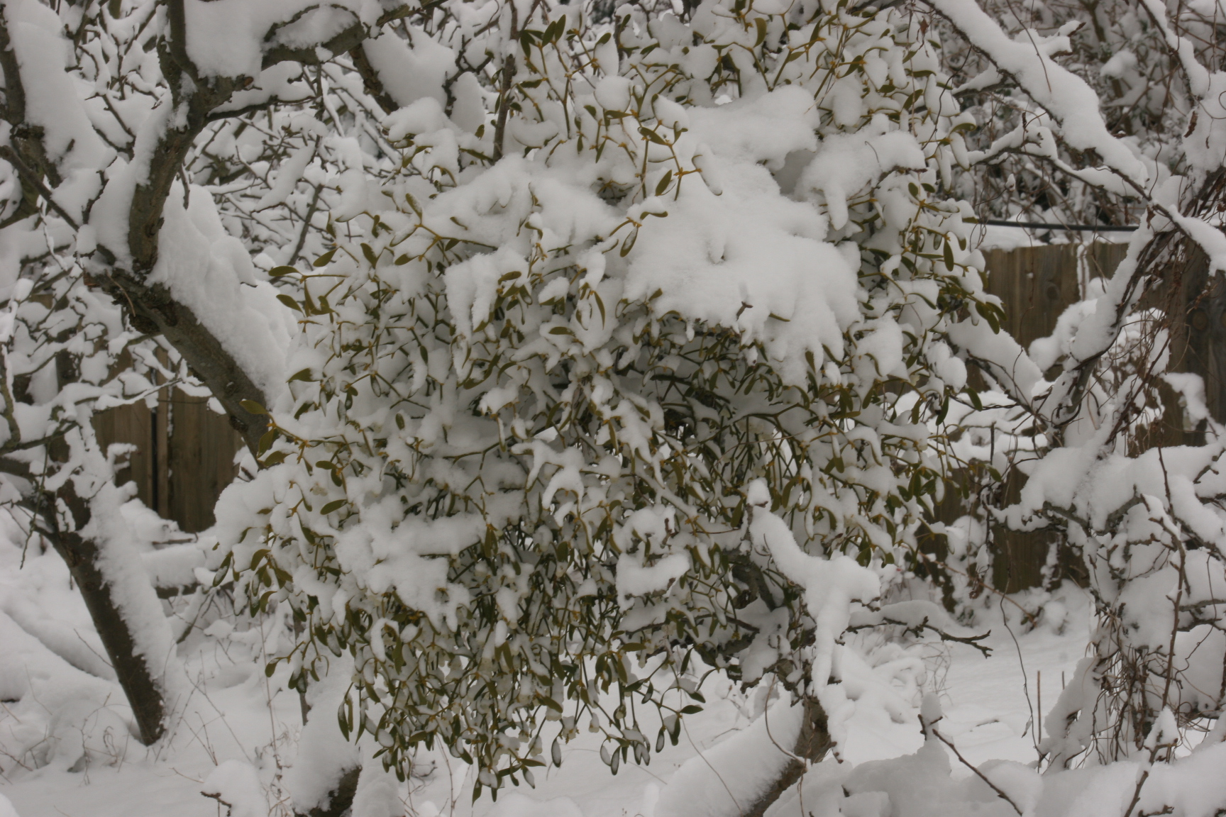 mistletoe-in-the-snow.jpg
