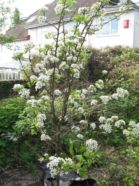 pear tree in flower