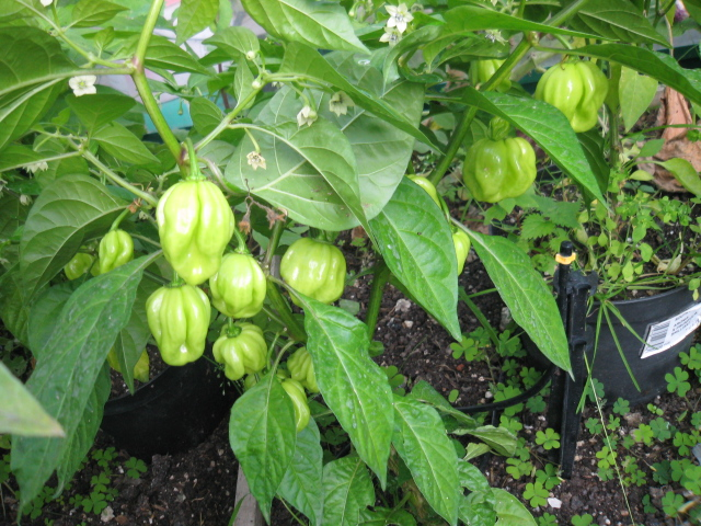 UK grown Scotch Bonnet Peppers