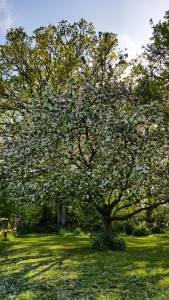 Bramley apple tree in full bloom